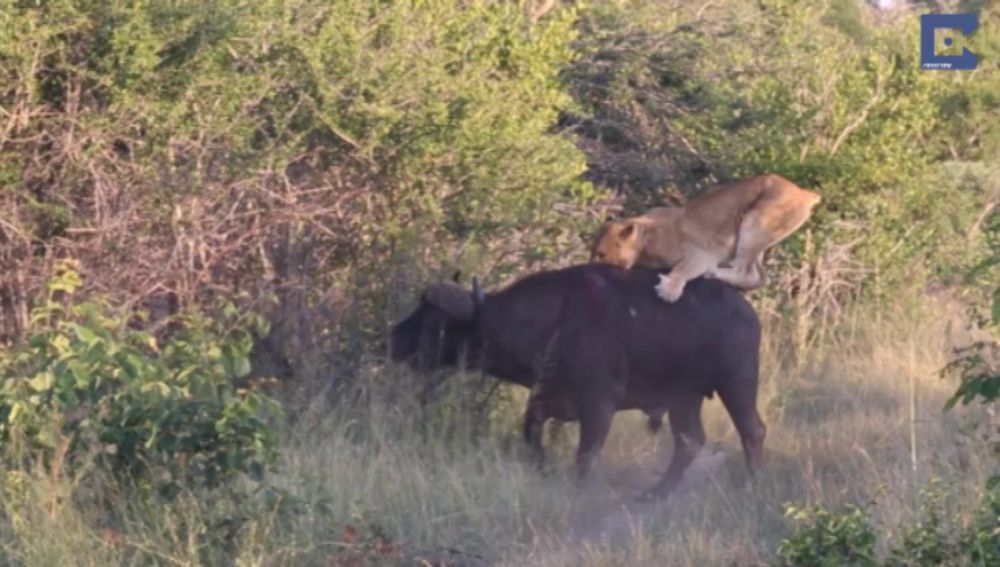 Búfalo contra leones