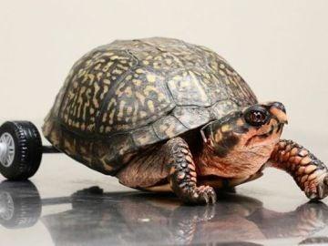 Pedro, la tortuga discapacitada que vuelve a andar con unas ruedas de LEGO