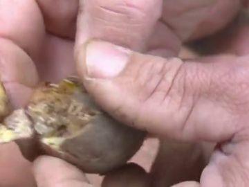 La polilla guatemalteca acaba con la cosecha de papas en Tenerife