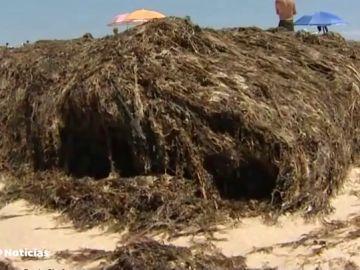 Algas originarias de Japón invaden las playas de Tarifa impidiendo el baño