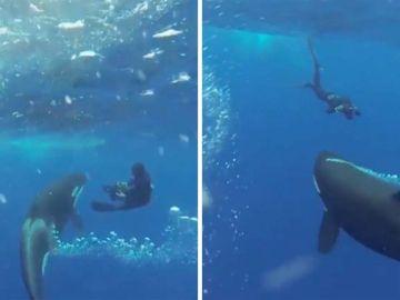 Orca con buceador