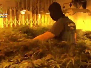 Desmantelan en Roquetas un 'narco-bloque' con 2.400 plantas de marihuana y 140 enganches ilegales
