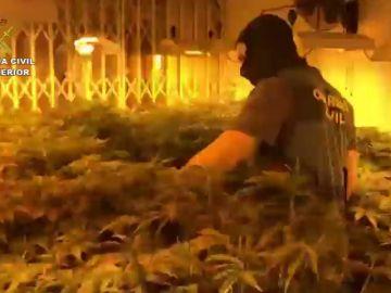 La policía desaloja en Roquetas un bloque de pisos con 2.400 plantas de Marihuana