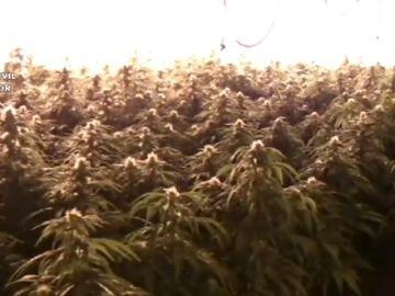 La Policía interviene unas cien plantas de marihuana al acudir a un aviso de fuga de agua