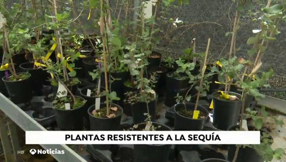 Los 'superárboles' que lucharán contra la sequía y el calor: clones para repoblar cuando suban las temperaturas