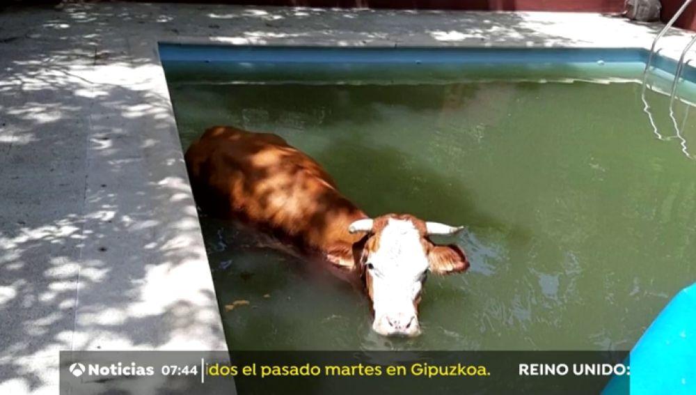 Rescatan a una vaca atrapada en una piscina