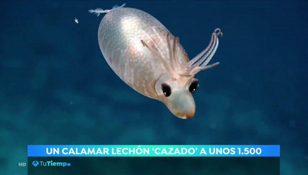 Un calamar lechón visto a más de 1.500 metros de profundidad