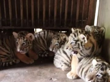 Quintillizos de tigre