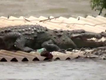 Curiosa imagen de un cocodrilo sobre un tejado