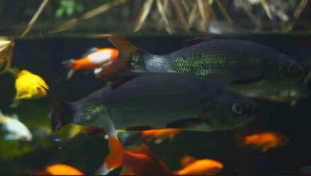 Un acuario de París emplea heces de peces como fertilizante para su huerto ecológico