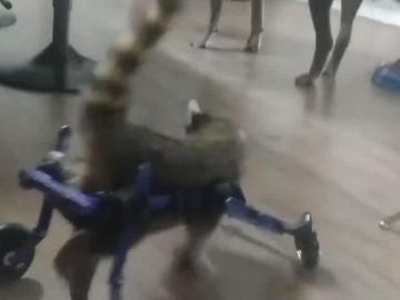 Un bebé mapache caminando gracias a una silla de ruedas