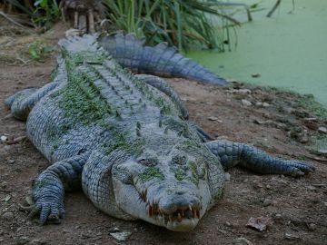 Foto de archivo de un cocodrilo