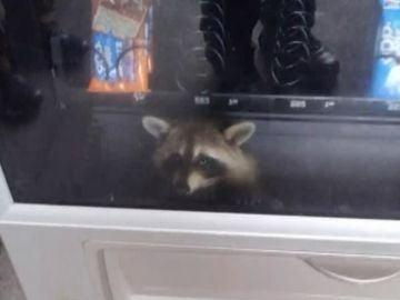Un mapache atrapado en una máquina expendedora