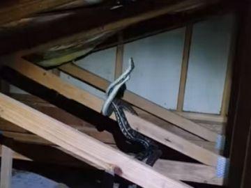 Dos pitones luchan cuerpo a cuerpo en el interior de una vivienda