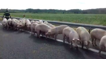 Chocan un microbús y un camión que transportaba cerdos en la A-62 a la altura de Palenzuela (Palencia)