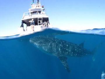 Momento en el que el tiburón ballena comenzó a nadar alrededor del barco