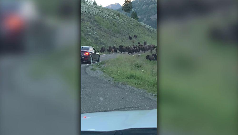 Estampida de bisontes