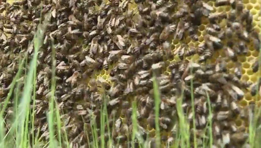 Alarma en Australia por la bajada de la producción de miel, las abejas no sobrevivirían al invierno