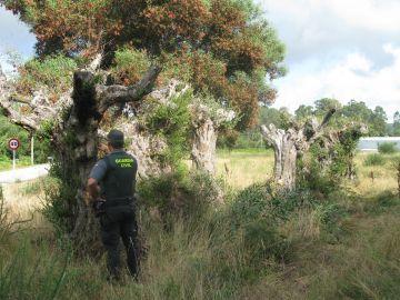 Olivo centenario recuperado por la Guardia Civil