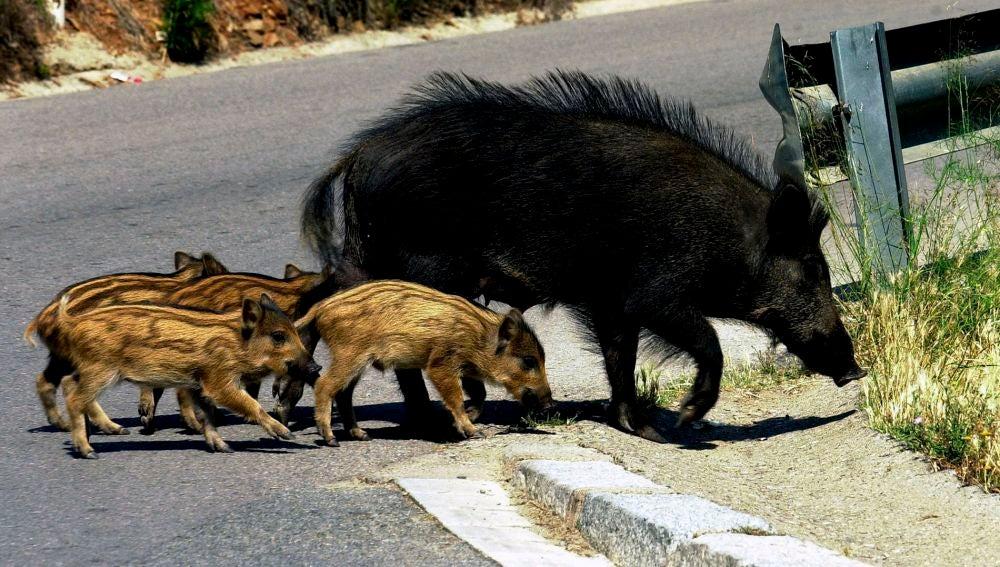 Imagen de archivo de una manada de jabalíes