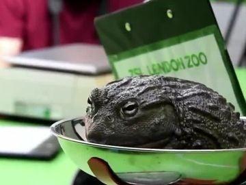 Una rana pesándose en el zoo de Londres