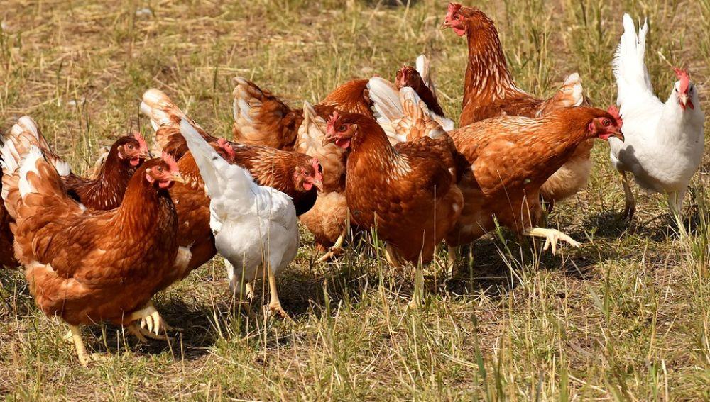 Imagen ilustrativa de gallinas