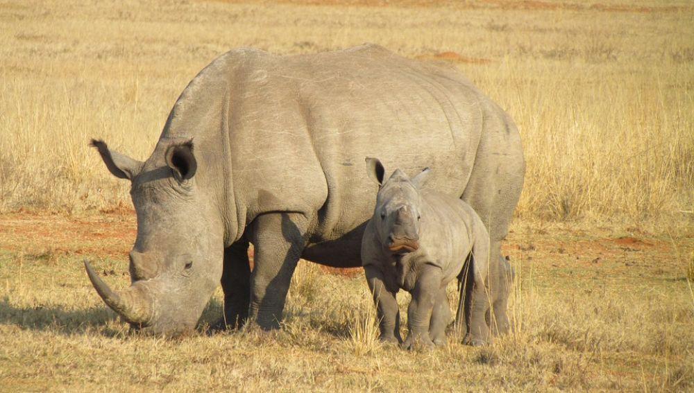 Imagen de archivo de un rinoceronte y su cría