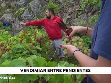 Tenerife es la mayor productora de vino de las Islas Canarias