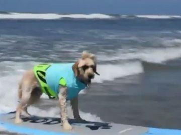 Un perro surfeando en California