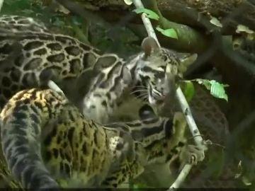Dos cachorros de leopardo nublado