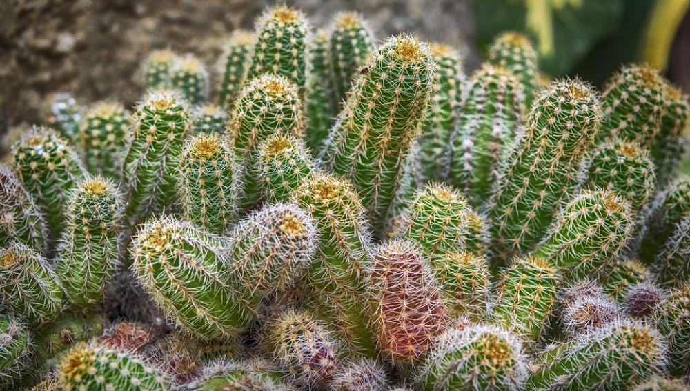 Imagen ilustrativa de un cactus