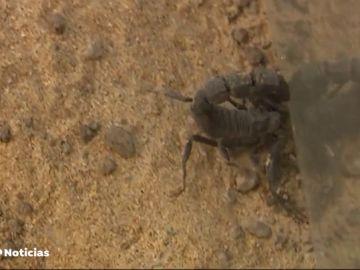 Unos padres encuentran un escorpión altamente venenoso en la mochila del colegio de su hija