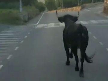 Una vaca suelta atemoriza a los vecinos de Almenara en Castellón