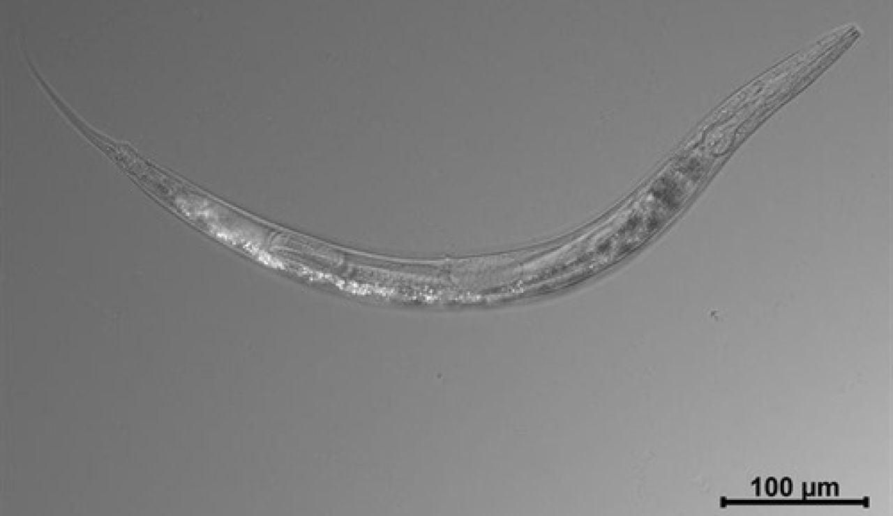 Imagen del gusano hallado en el Lago Mono
