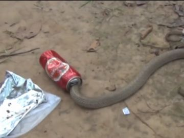 La cobra con la cabeza metida en la lata