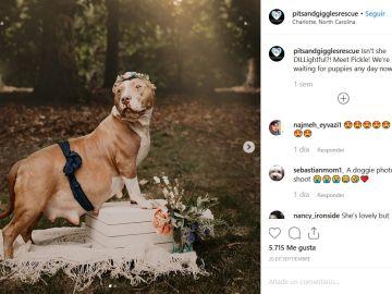 La sesión de fotos de una pitbull rescatada