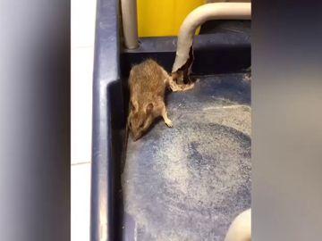 Encuentran ratas y cucarachas en un hospital de Tenerife
