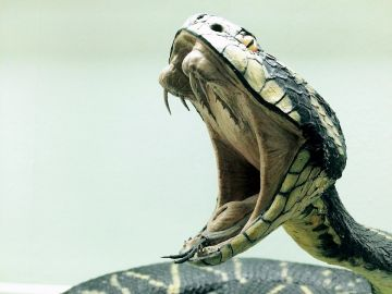 Serpiente cobra (Archivo)