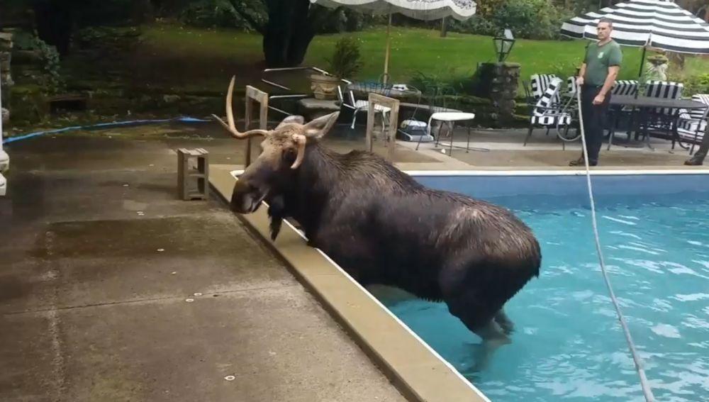 Alce se cuela en una piscina por error