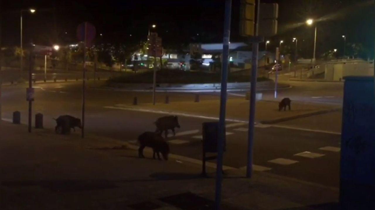 Un Grupo De Jabalíes Invade Las Calles Del Centro De