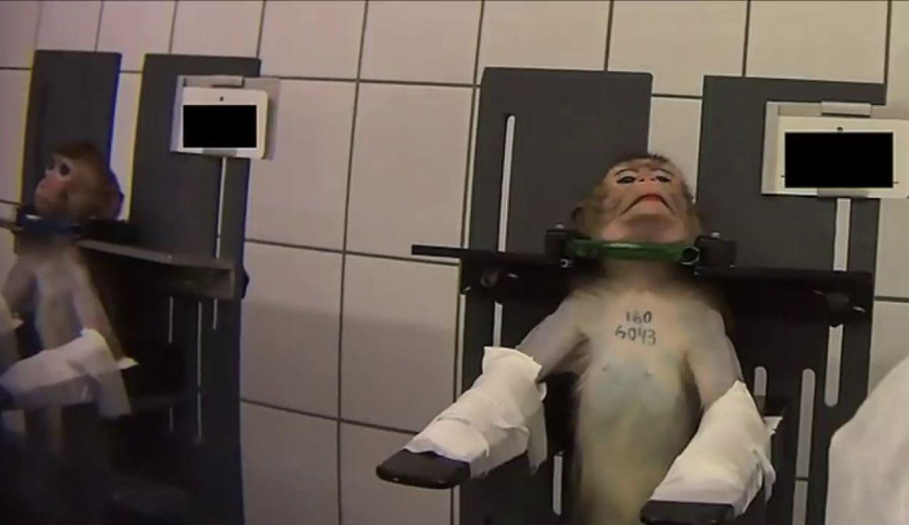 Las imágenes del terrible maltrato a monos y perros en un laboratorio alemán desata la polémica