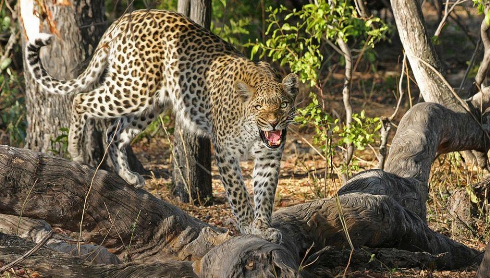 Leopardo (archivo)