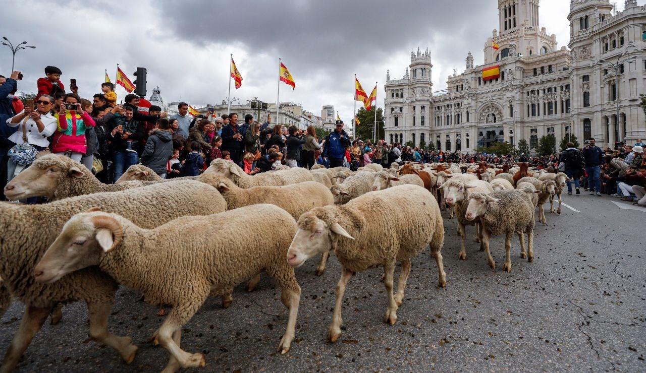 Ovejas pasean por el centro de Madrid