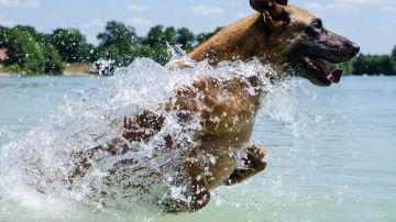 Perro nadando (archivo)