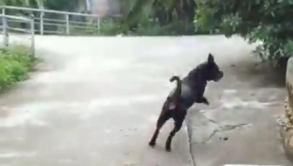 El perro acude a salvar a su dueño