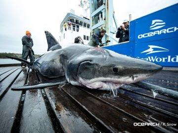 Tiburón muerto