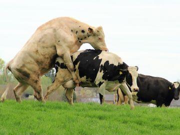Toro intentando montar a una vaca