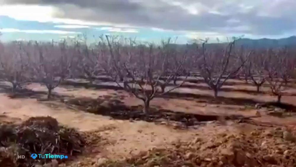 Insólita imagen de los melocotoneros en flor en pleno noviembre en Murcia
