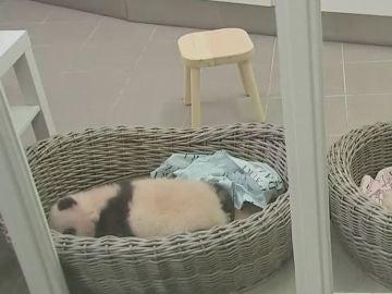 Los osos panda del zoológico de Bélgica