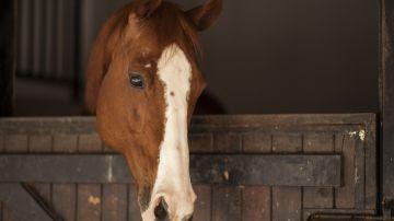 Los ojos de los caballos reflejan su estres